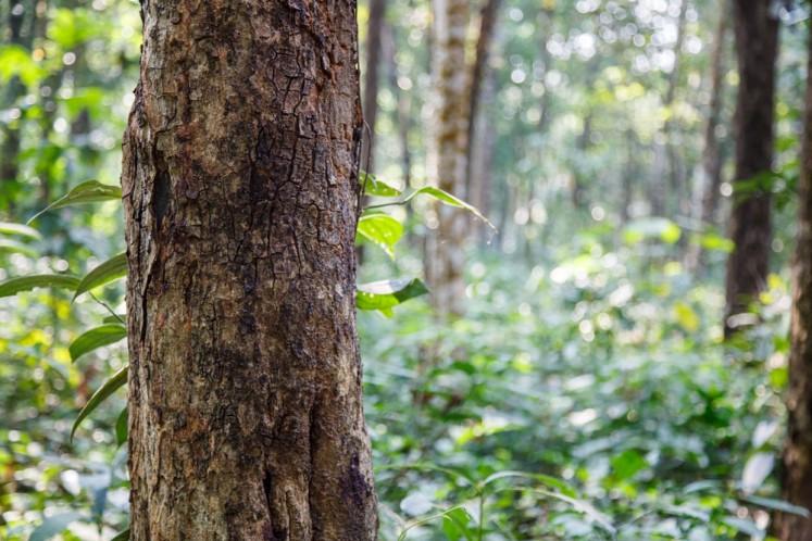 Restoring sandalwood's glory