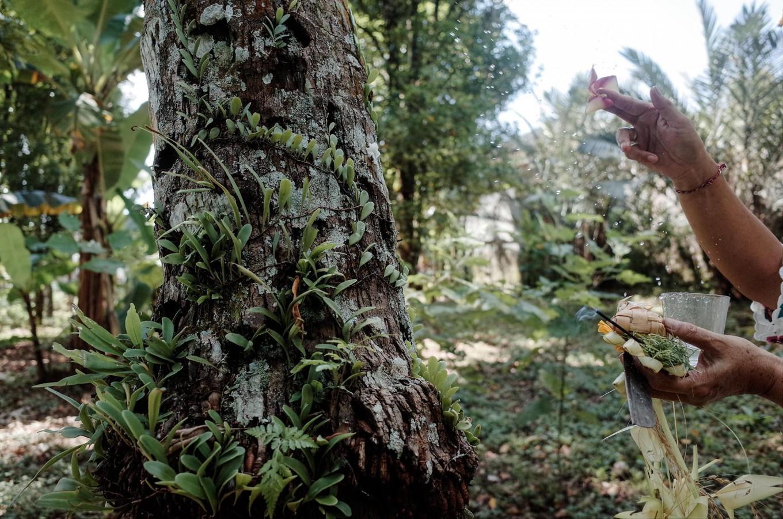 Nyoman splashes holy water on one of her clove trees. JP/Anggara Mahendra