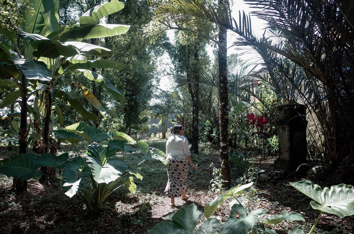 Nyoman walks in her backyard, which is planted with clove trees, after the Tumpek Pengatag ceremony. JP/Anggara Mahendra
