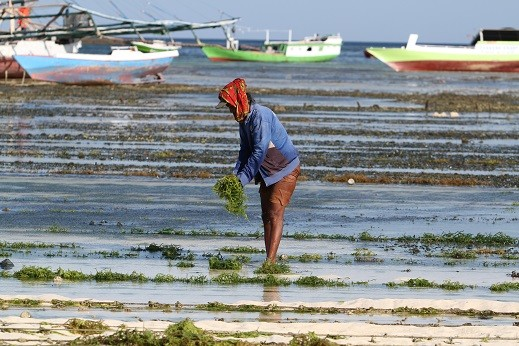 Cosmetics producer sets up seaweed processing plant in West Lombok