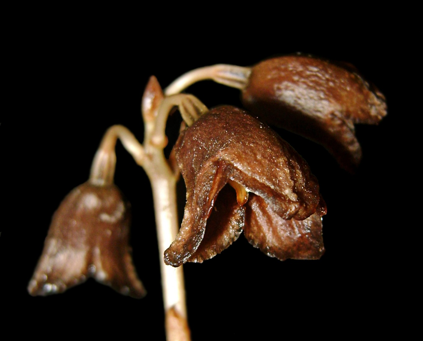 Rare species: A joint team of scientists from the Indonesian Institute of Sciences (LIPI) office at the Plant Conservation Agency (BKT) of the Bogor Botanical Gardens in Pasuruan, East Java, have discovered a new orchid species, the Gastrodia bamboo, endemic to Java. Image: JP/Aman Rochman