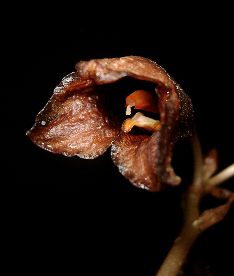 The Indonesian Institute of Sciences (LIPI) office at the Plant Conservation Agency (BKT) of the Bogor Botanical Gardens in Pasuruan, East Java, revealed on Monday the discovery of a new orchid species endemic to Java, the Gastrodia bamboo, in Phytotaxa, an international scientific journal.