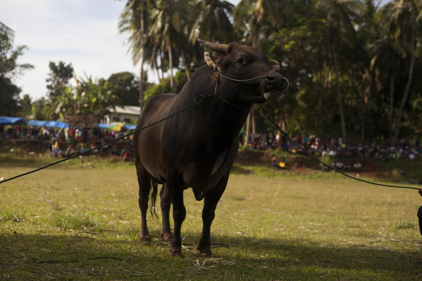 A bull is ready to enter the field. JP/Sigit Pamungkas