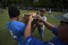 An owner is helped by others to put a rope into a bull's nose ring after the match. JP/Sigit Pamungkas