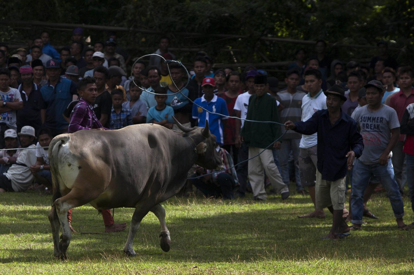 A handler catches a bull with a lasso. JP/Sigit Pamungkas