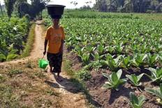 A woman passes by a field of month-old Vor Oogst Kasturi tobacco seedlings in Sumber Pinang village of Pakusari district, Jember regency. JP/Wahyoe Boediwardhana