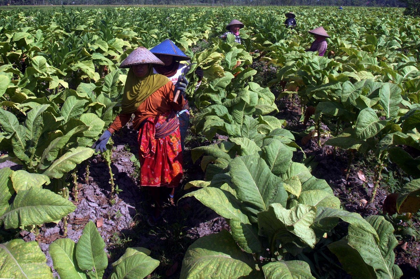 Women trainees practice topping – cutting off the flower buds – on Virginia tobacco plants at a training farm on Sept. 7 in Puyung village, Jonggat district, Central Lombok. The buds are cut off to prevent seeding and to redirect the tobacco plant's energy into