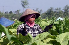 A woman trainee uses a sickle to practice topping a Virginia tobacco plant, cutting off the long spike of flower buds growing from the top of the plant, in Puyung village, Jonggat district, Lombok Tengah regency. JP/Wahyoe Boediwardhana