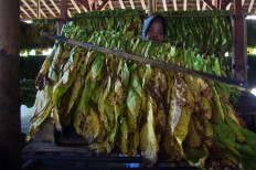 A woman arranges tobacco leaves on bamboo sticks in a flue-cured barn in Puyung village. Flue-cured tobacco is produced using a smokeless, heat-curing method. JP/Wahyoe Boediwardhana