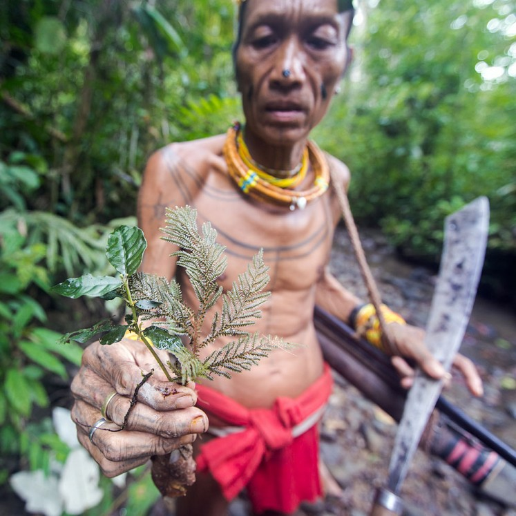 Sikerei, Aman Masit Dere gathering medicinal plants from the Siberut forest to treat the ill.