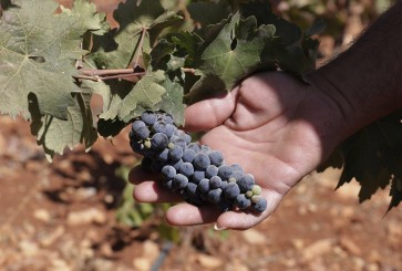 Turning weed into wine in Lebanon