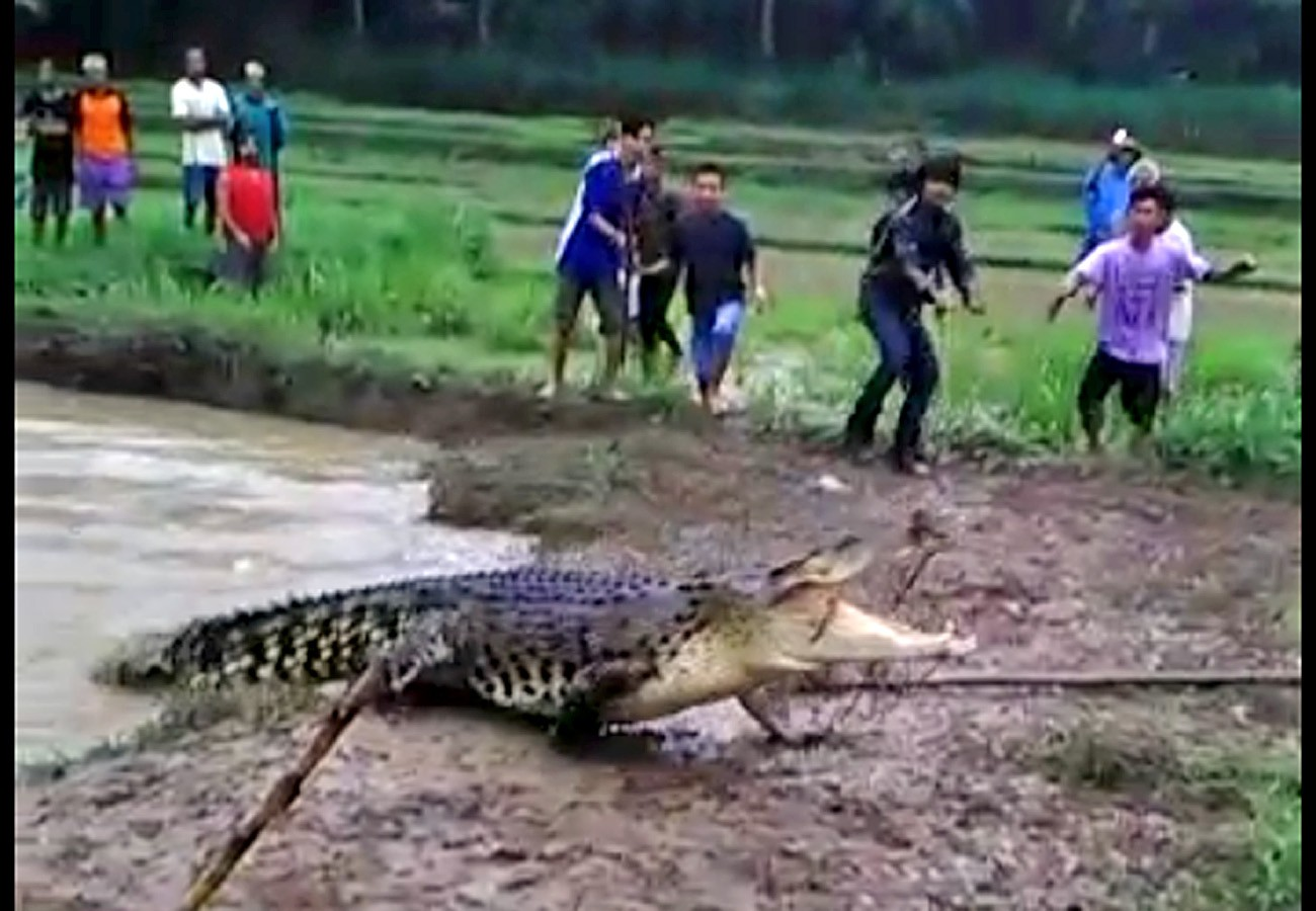 Saltwater crocodile dies after being caught by villagers