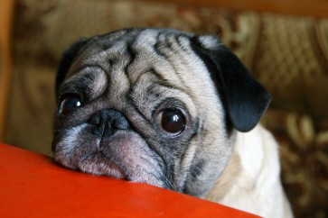 Puppy eyes: The tail wagging the dog?