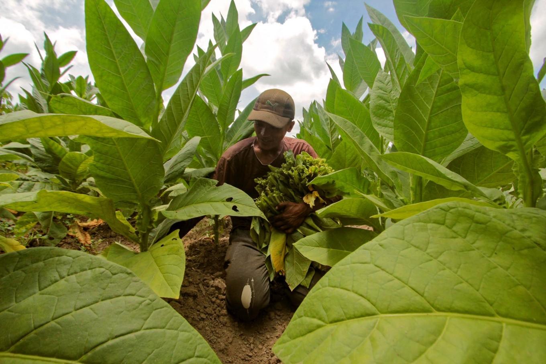 A worker picks tobacco leaves. JP/Aditya Sagita