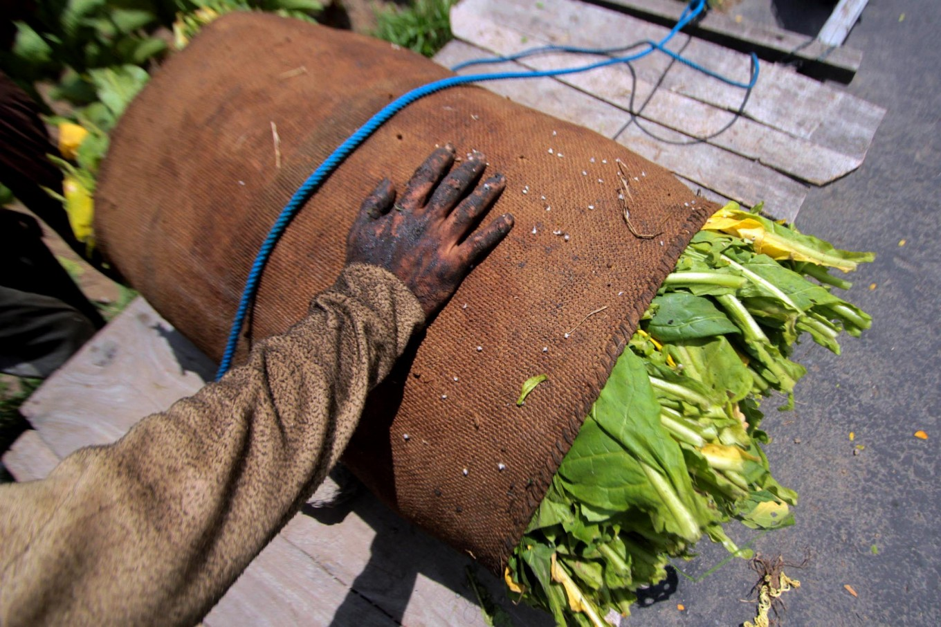 A worker, whose hands have been blackened due to the nicotine in tobacco plants, wraps the leaves. JP/Aditya Sagita