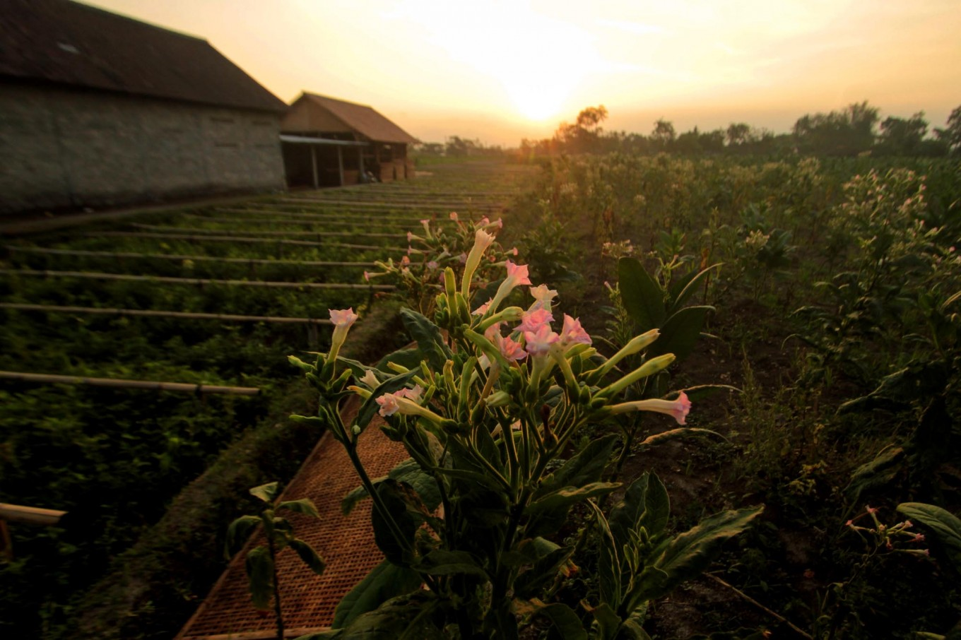 Tobacco flowers are seen in the foreground with tobacco plants in the background, in Manisrenggo village, Klaten regency, Central Java. A total of 600 hectares from a 1,509 hectare plot in the district is allocated for tobacco plants. JP/Aditya Sagita