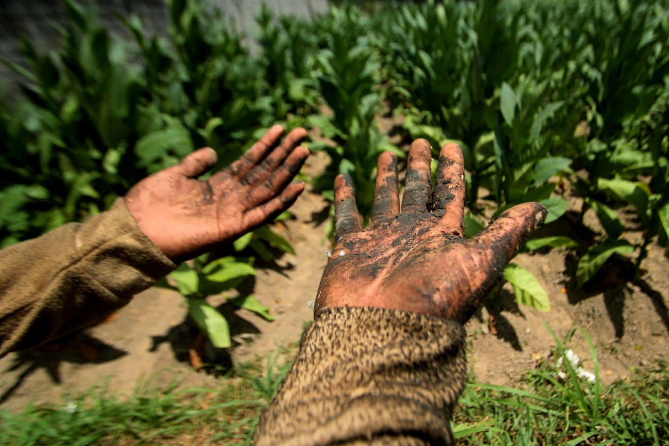 A worker shows his blackened hands due to the nicotine contained in tobacco plants. Many workers suffer from irritation to their arms and legs after working in the field. JP/Aditya Sagita
