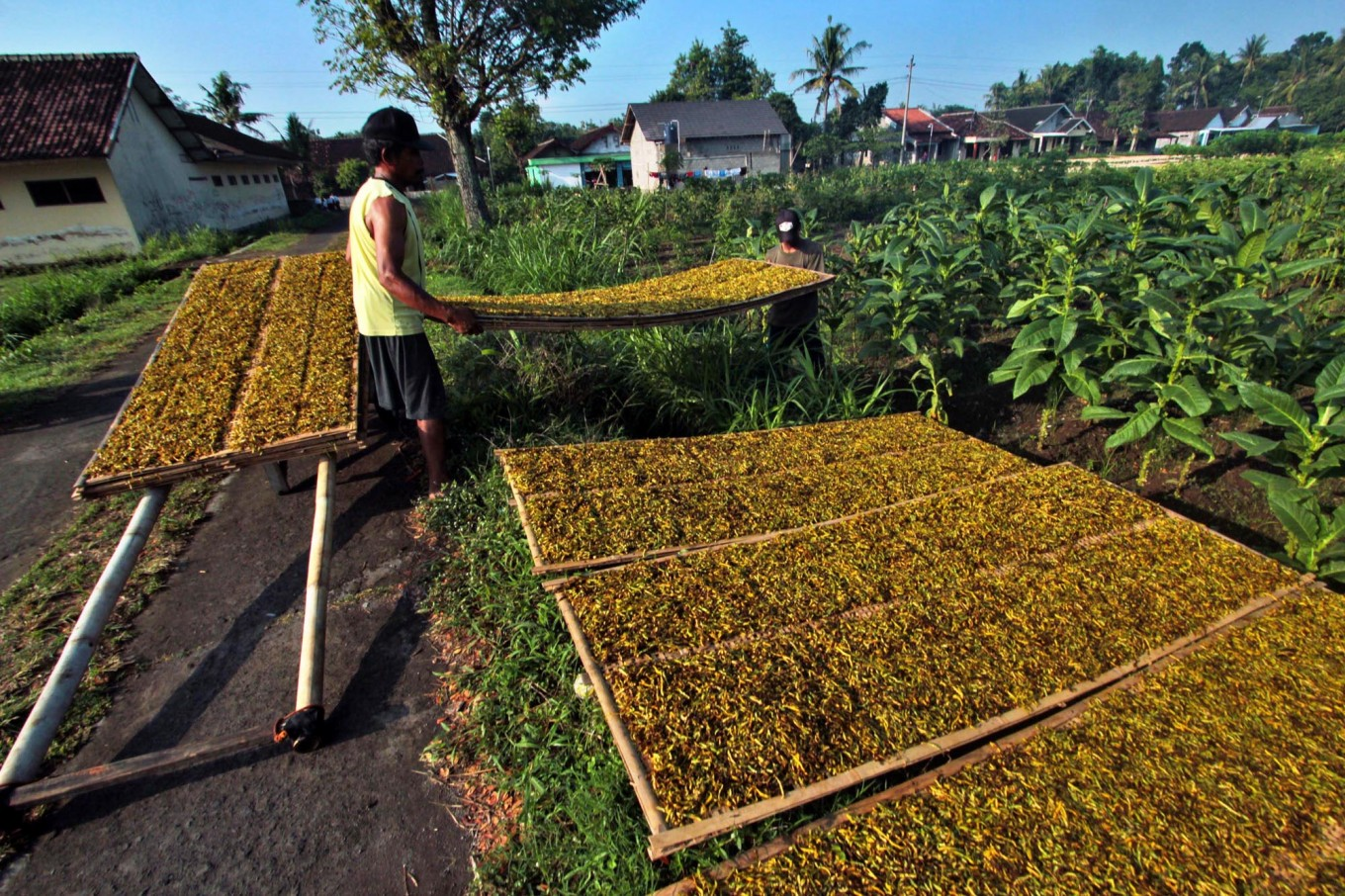 A worker is seen neatly arranging the sliced tobacco on bamboo trays. JP/Aditya Sagita