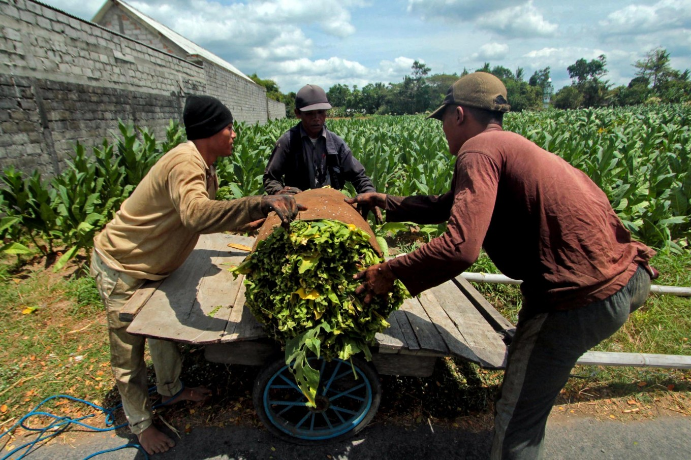 hree workers move rolled tobacco leaves into a cart. JP/Aditya Sagita