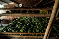 Raw green tobacco leaves are stored between 3 to 7 days. JP/Aditya Sagita