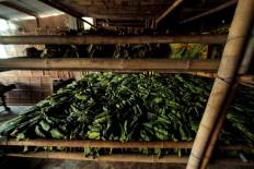 Raw green tobacco leaves are stored between 3 to 7 days. JP/Aditya Sagita