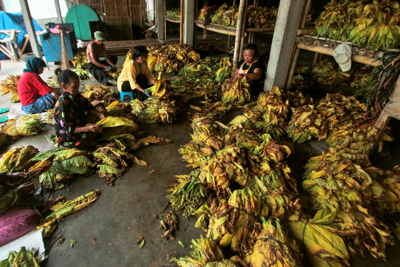 Female workers sort tobacco leaves. JP/Aditya Sagita