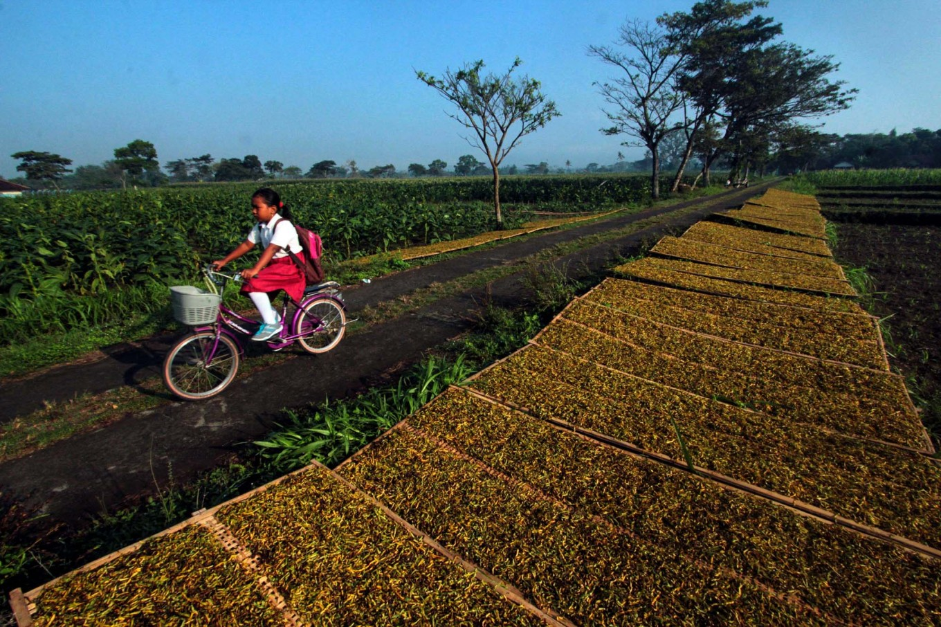 An elementary school student rides her bike, passing neatly arranged sliced tobacco on bamboo trays that are dried by the sun at the side of the road. JP/Aditya Sagita