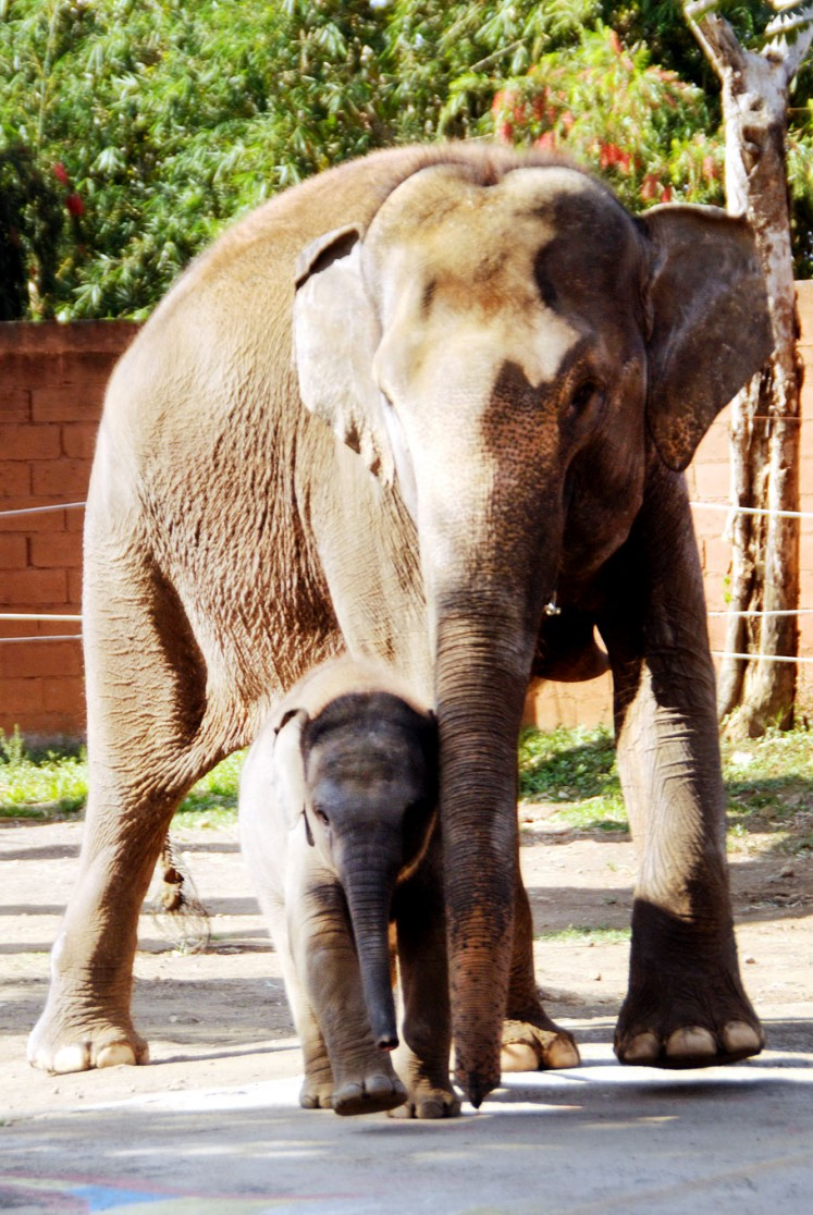 New kid on the block: Si Mungil (Cutie), a three-month-old female Sumatran elephant, walks with mother Tira.