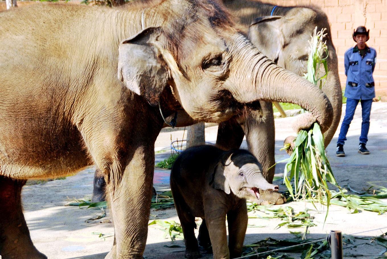 Sumatran elephant and Kalimantan orangutan born at Batu Secret Zoo