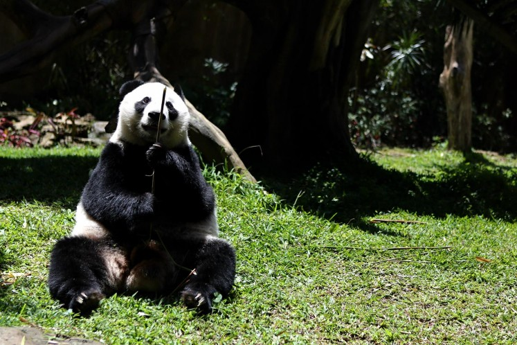Female Giant Panda Hu Chun in her enclosure during her quarantine period at Taman Safari Indonesia Panda Area, Cisarua, West Java, Wednesday, November 1, 2017. Cai Tao (male) and Hu chun (female) were lent by the Chinese government as part of a breeding loan program.