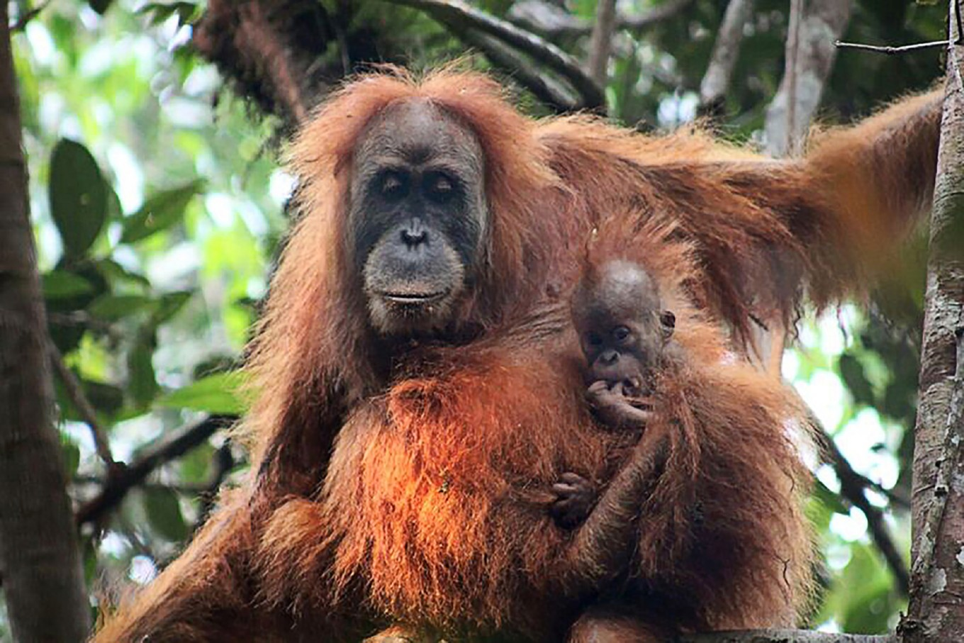 Newly discovered orangutan species is most endangered great ape: study