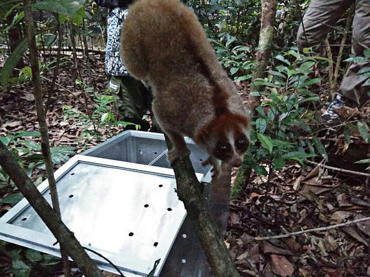 Into the wild: A Sunda slow loris crawls along a tree branch at a wildlife rehabilitation center in Mount Tarak, Ketapang regency, West Kalimantan.