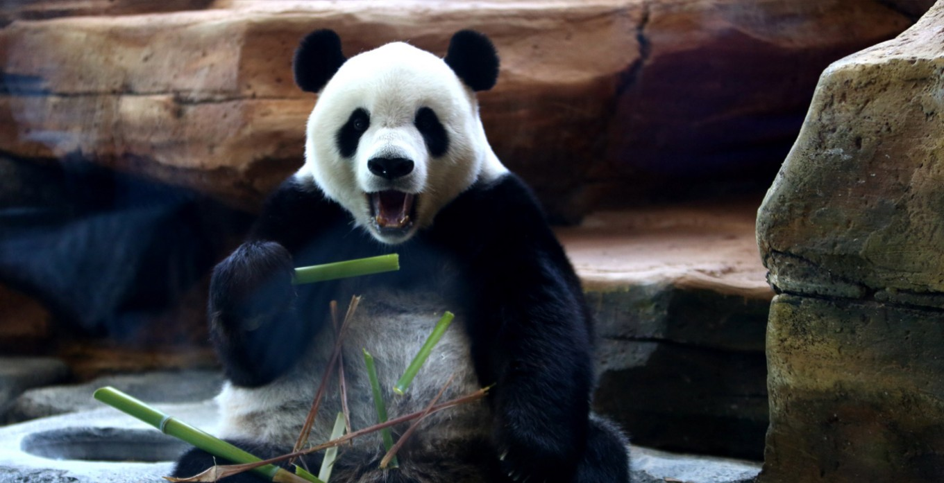 First pandas enjoy new home  in Indonesia