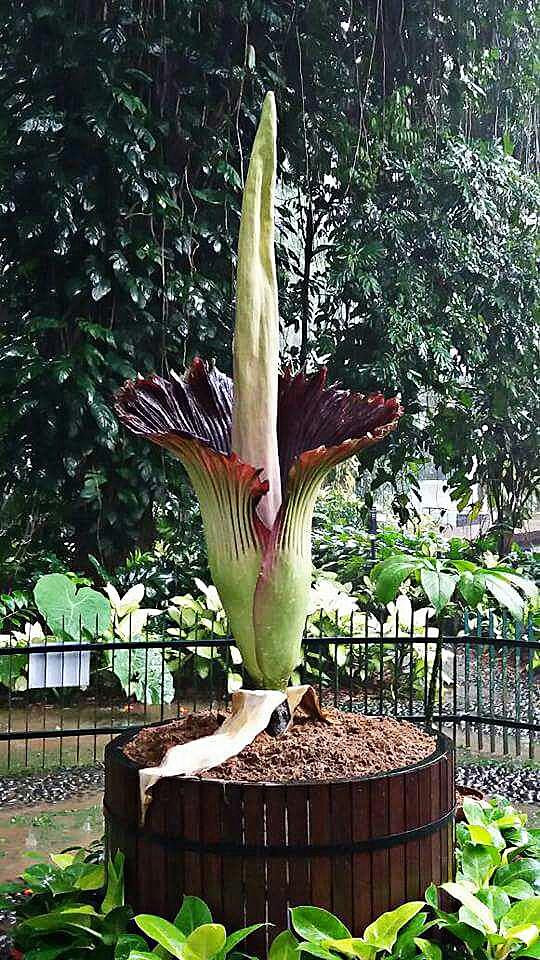 Corpse Flower Blooms At Bogor Botanical Gardens National The Jakarta Post