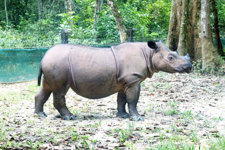 Queen rhino: Ratu, the only female Sumatran rhino to have given birth at the Sumatran Rhino Sanctuary (SRS).
