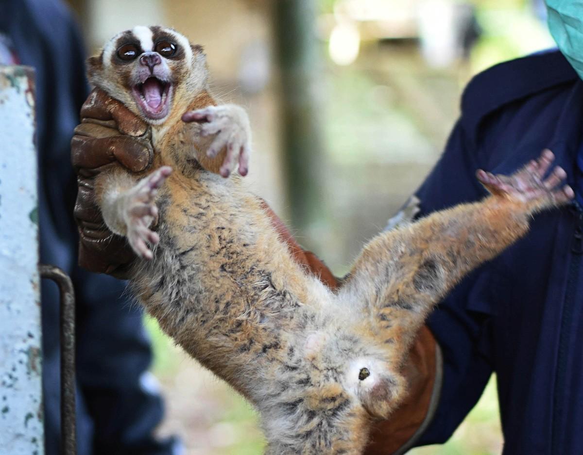 8 Javan slow lorises released into natural habitat