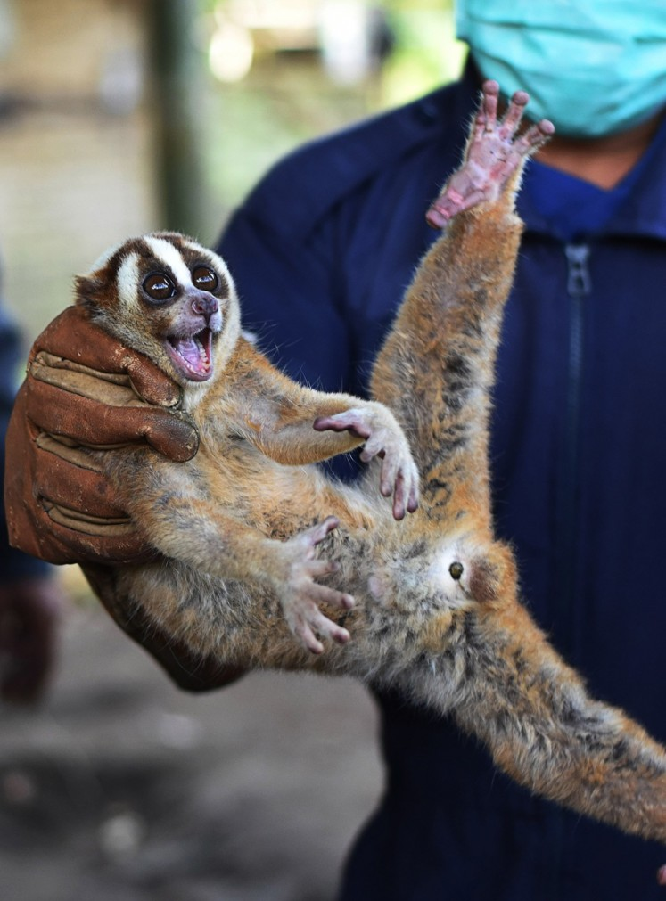 Endangered species: A Javan slow loris is ready to be released into the Kondang Merak protected forest in Malang, East Java, on Nov.8. The forest area is know as the natural habitat of Javan slow lorises.