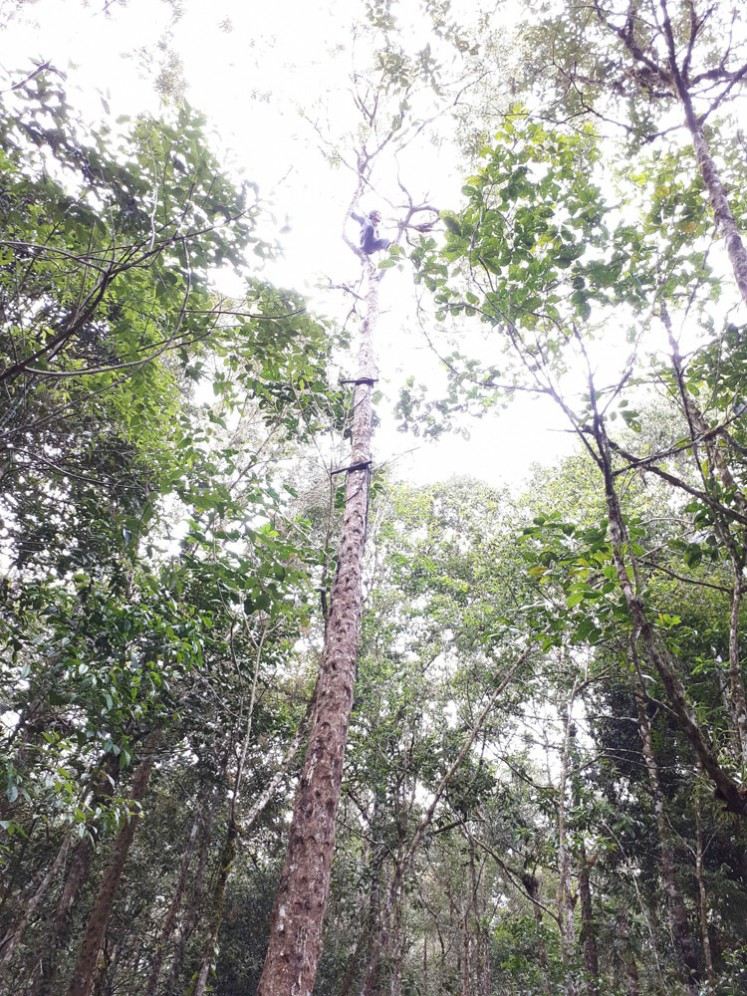 Standing tall: Kemenyan trees (Styrax benzoine) and its variants are found all over North Sumatra.