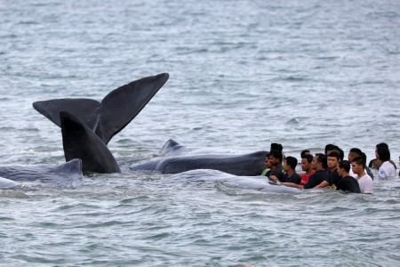 Four of 10 beached whales in Aceh die