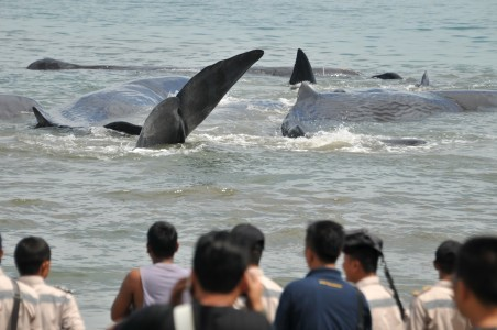 Seventeen whales stranded on Sabu Island, 11 dead