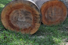 Logs used for the sculpture must have a minimum diameter of 50-centimeters. JP/Magnus Hendratmo