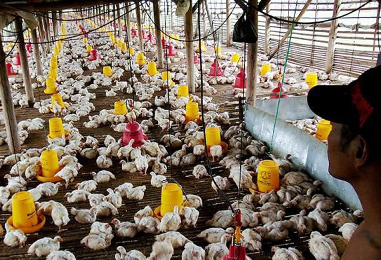 Malaysia to import chickens, ducks from Indonesia