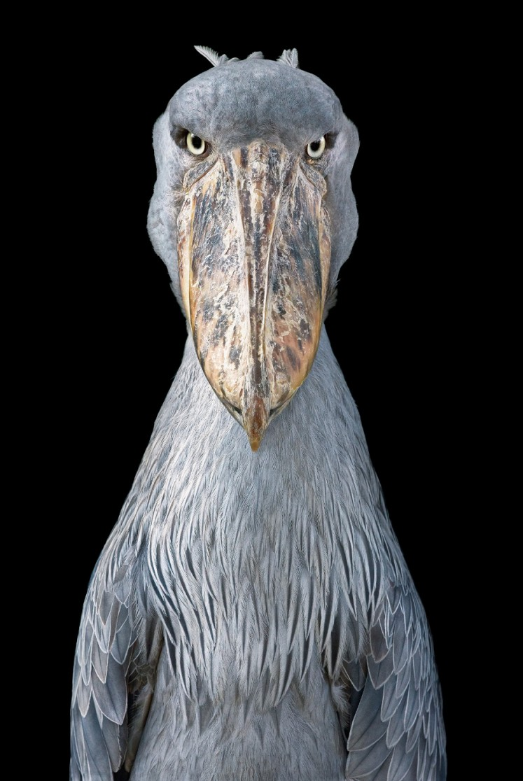 A Shoebill looks straight into Tim Flach's camera in this picture part of the book 'Endangered'. Flach used a black velvet backdrop in many of his prints 'because I want you to focus on the animal,' he explained to an AFP journalist in Wahington on November 13, 2017. The collection of more than 150 images featured in 'Endangered,' a tome released by US publisher Abrams, spans the spectrum of International Union for Conservation of Nature rankings from not evaluated and vulnerable to critically endangered and extinct in the wild.