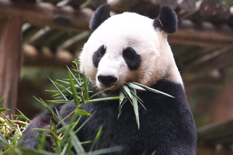 Hu Chun, the female Giant Panda, enjoys her food at the Taman Safari Indonesia, Cisarua, Bogor, West Java.
