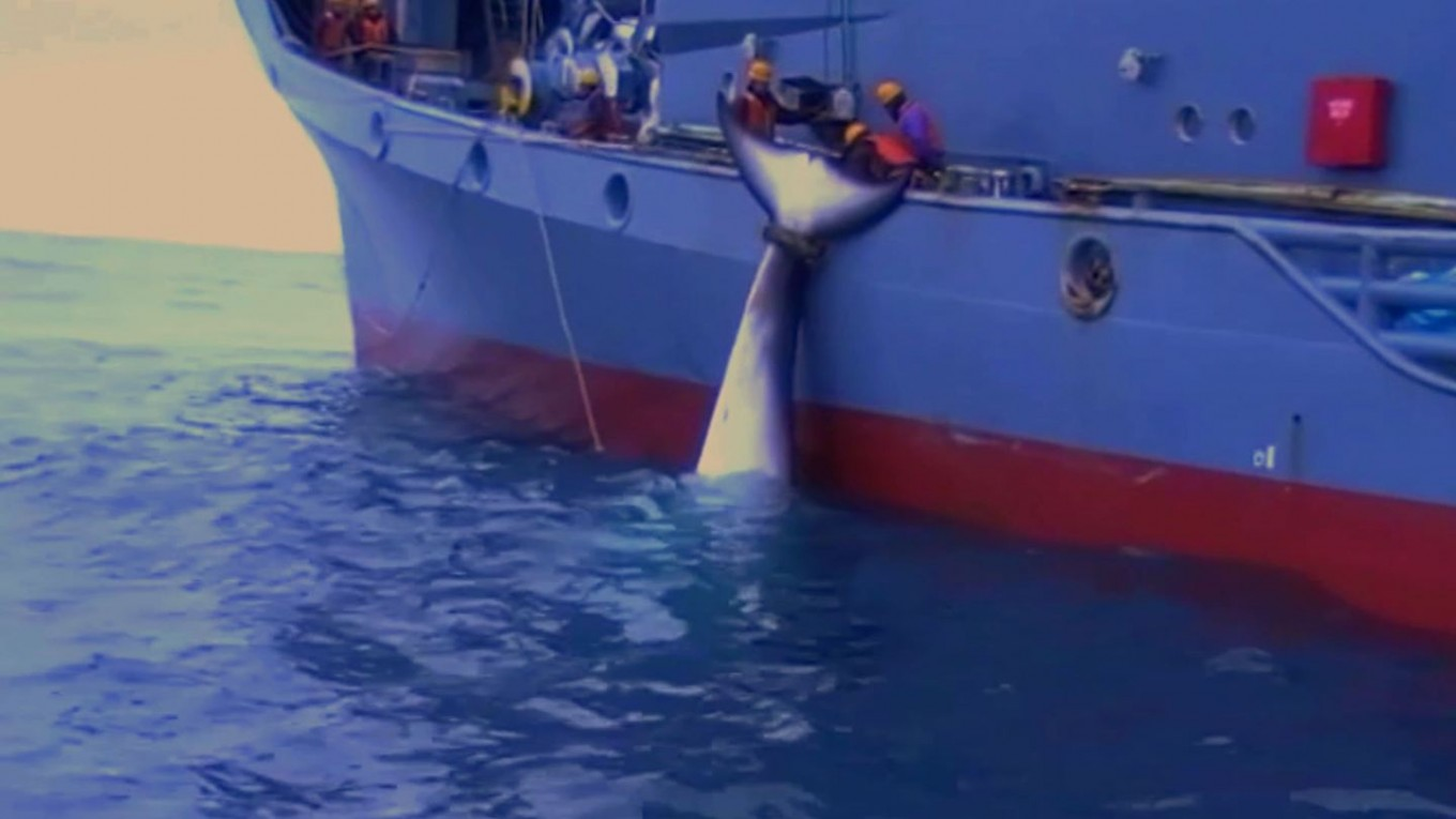 Graphic Australian video of Japanese whaling released