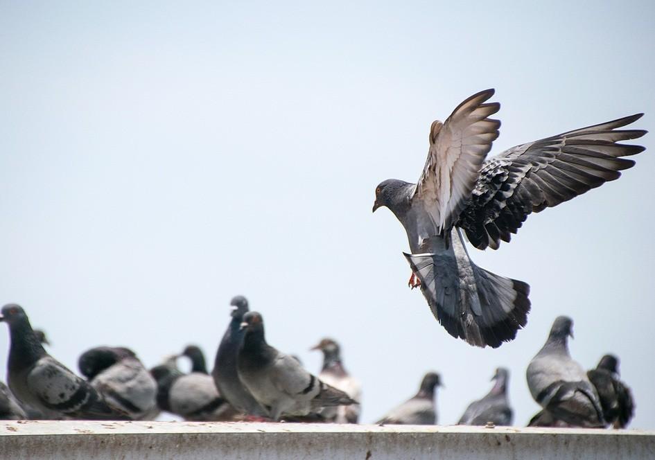 Hair-raising truth behind pigeons' lost toes