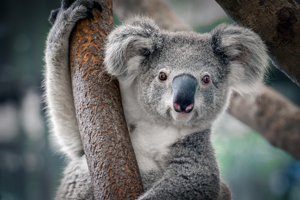 Live stream of koalas cuddling, eating and dozing will whisk you Down Under