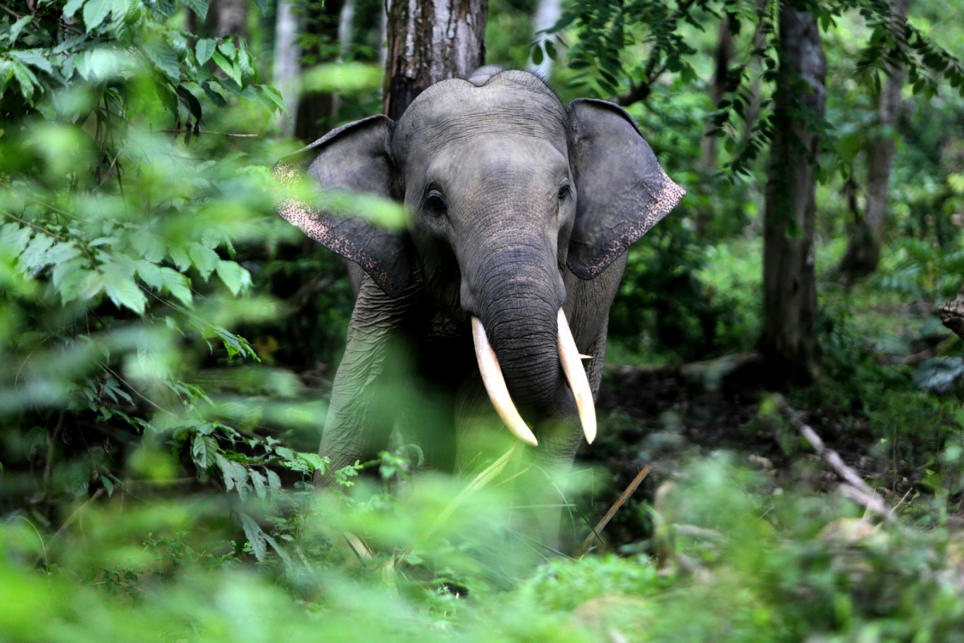 Roaming elephants, tiger trouble Jambi residents