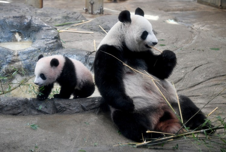 Female giant panda cub Xiang Xiang (L) walks beside her mother Shin Shin (R) at Ueno Zoo in Tokyo on December 19, 2017. Hundreds of fans flocked to a Tokyo zoo on December 19 for the first public viewing of baby panda Xiang Xiang, after winning a lucky lottery ticket that a quarter of a million applied for.