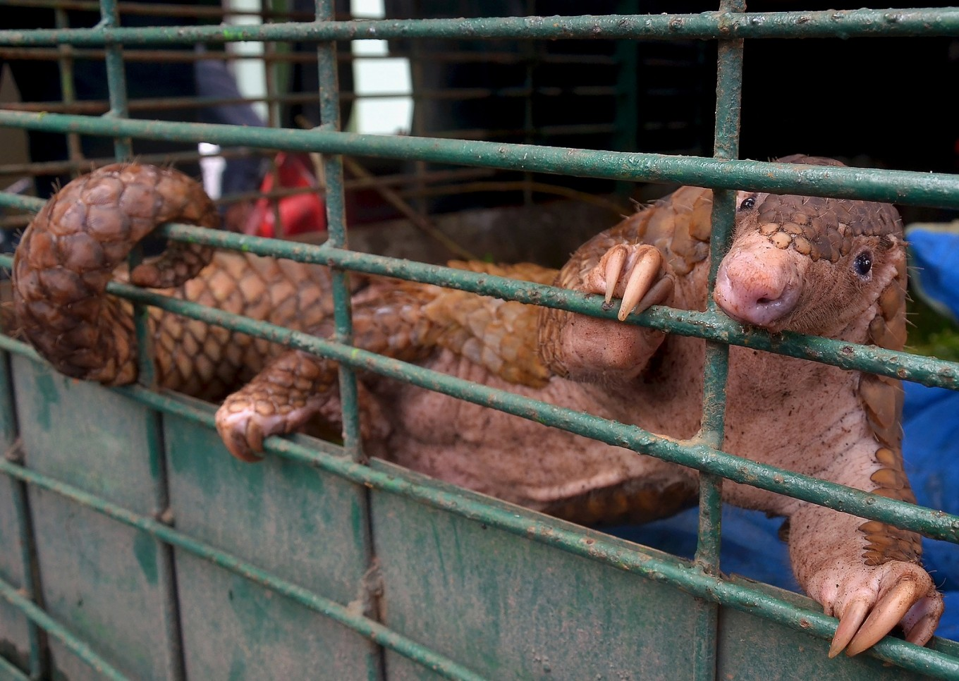 Chinese nationals arrested for alleged pangolin scale smuggling